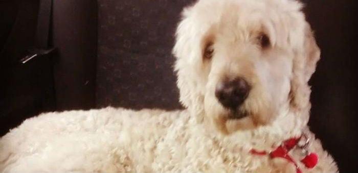 O que esse cachorro faz em casa quando está sozinho é de partir o coração