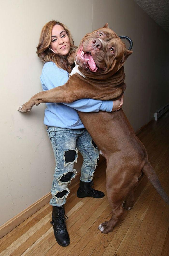 18 cachorros gigantes que pensam que ainda são filhotes