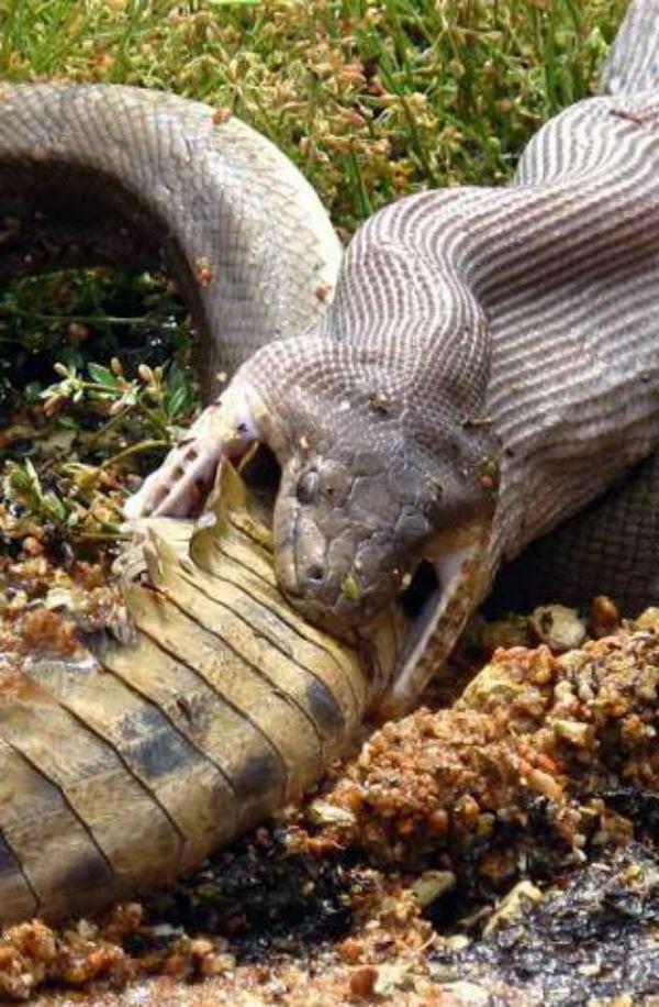 9 cobras que comeram e se arrependeram amargamente