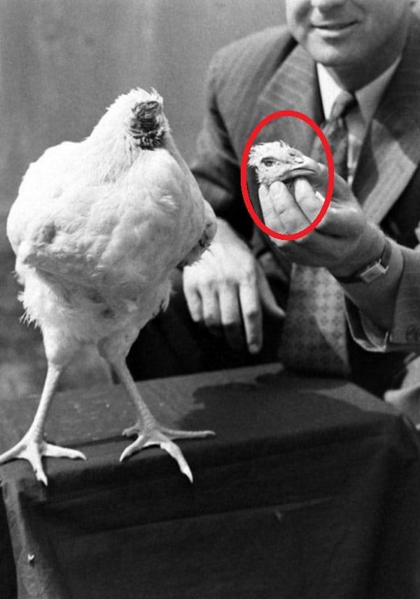 Mike, o frango sem cabeça que viveu 18 meses decapitado