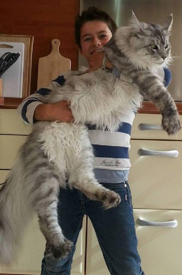 Conheça os Maine Coon, os maiores gatos do mundo