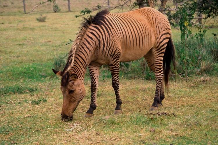 18 animais híbridos incríveis que você precisa conhecer