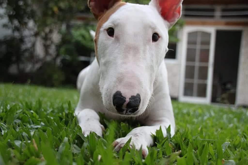 Raças de cachorro modificadas e desfiguradas pelo homem
