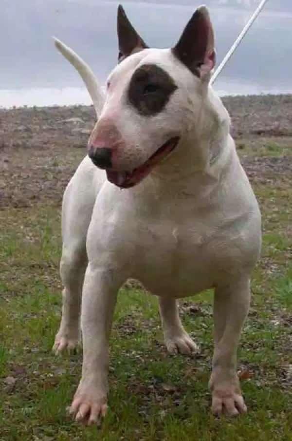10 raças de cachorro que foram desfiguradas pelo homem