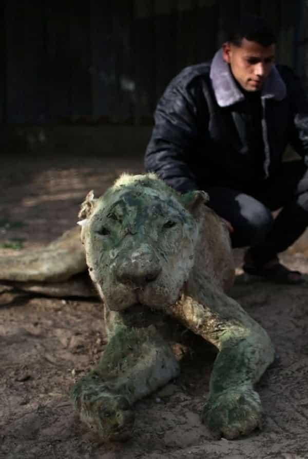 250 animais viraram múmias em zoo abandonado da Palestina