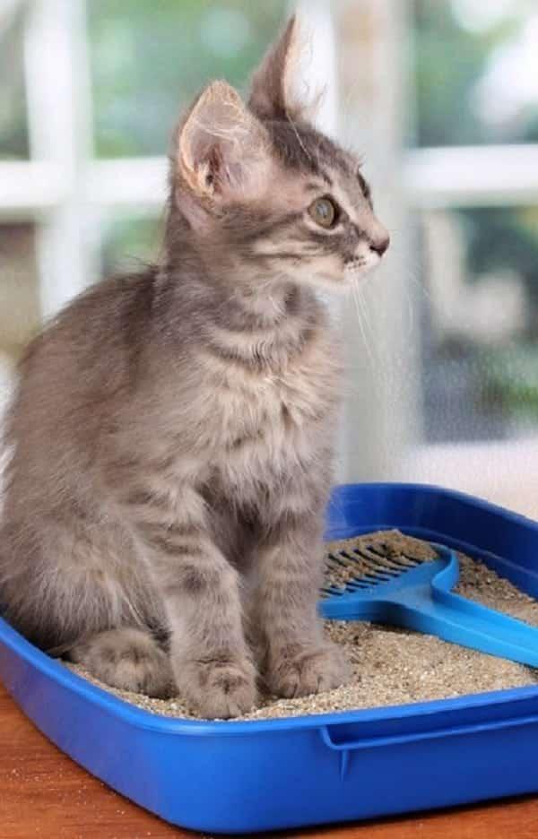Por que os gatos enterram o cocô na areia?