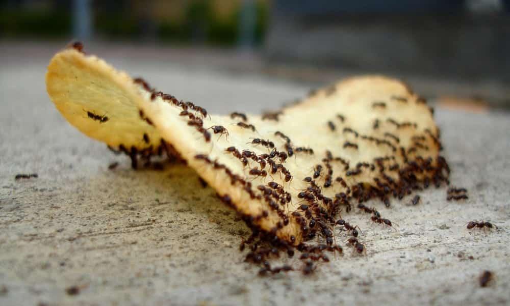 Porque você NUNCA deve comer alimentos com formigas!