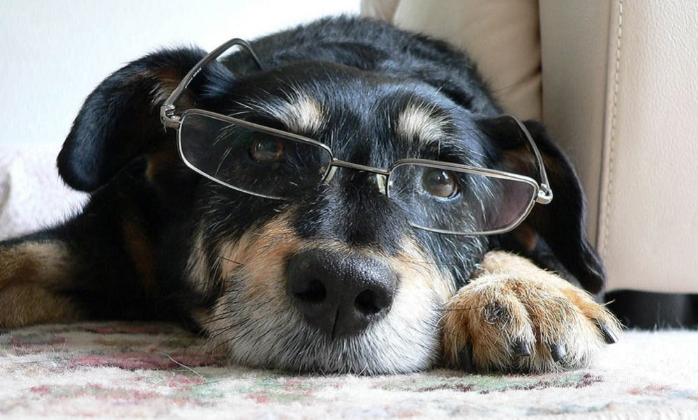 7 sinais de seu cachorro está ficando velho