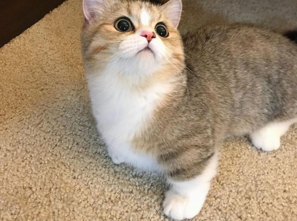 Munchkins – Características e peculiaridade dos gatos que nunca crescem