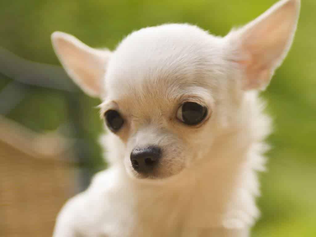 Raças de cachorro que vivem mais: conheça 20 raças de vida longa