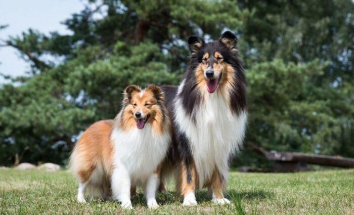 10 raças de cachorro que vivem mais tempo