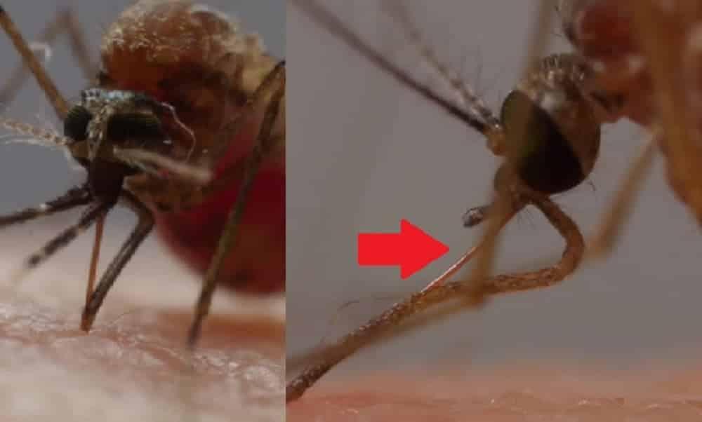 Veja como os mosquitos sugam o sangue de suas