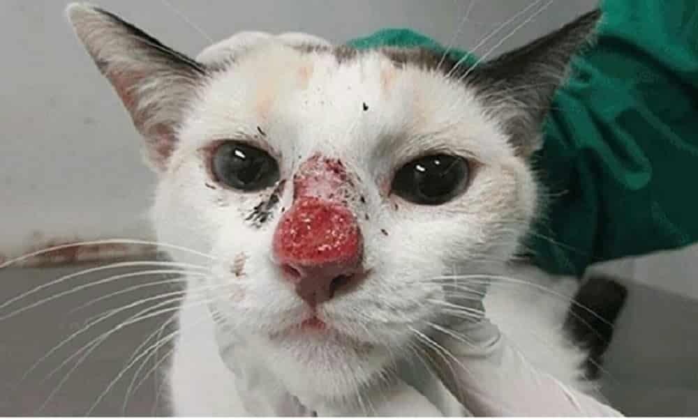 Surto de micose de gato afeta humanos e já registra 5 mil casos
