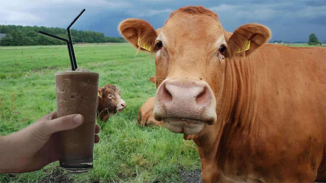 Milhões de pessoas adultas acham que leite achocolatado vem de vacas marrons