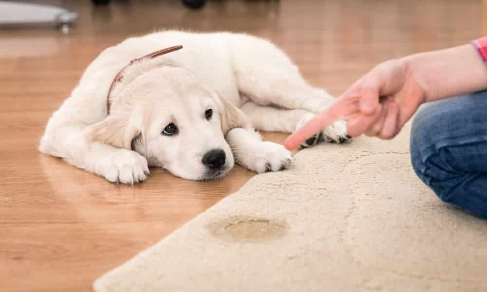 Como ensinar seu cachorro a fazer xixi e cocô no lugar certo