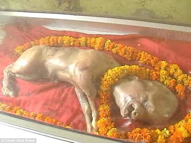 Vaca com feições humanas nasce na Índia e é tratada como deus