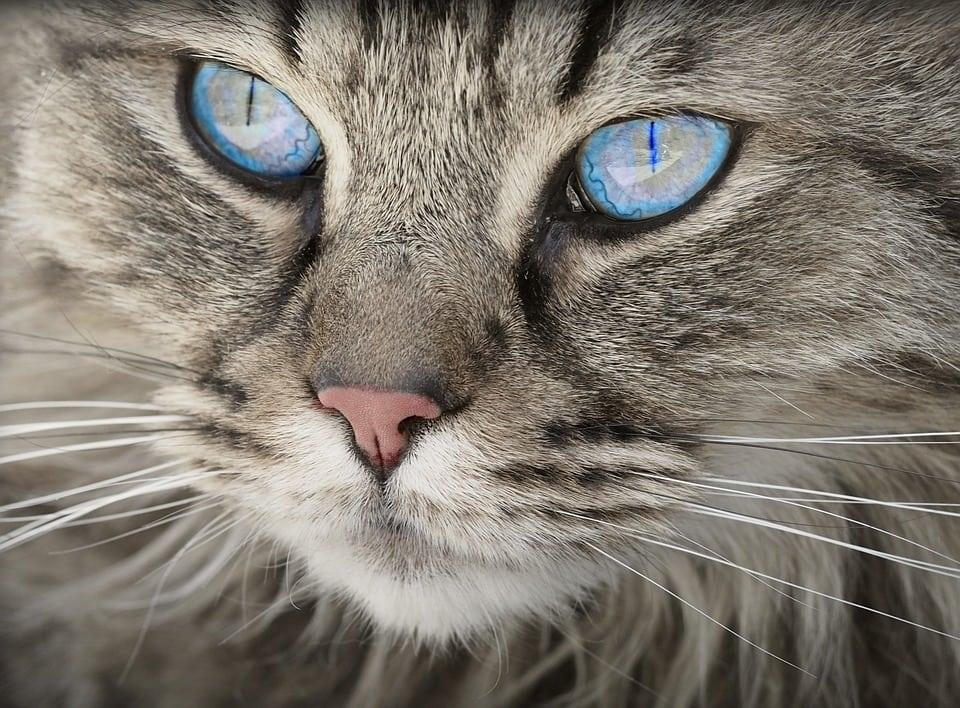 Agressividade dos gatos pode estar ligada à cor do pelo, indica estudo