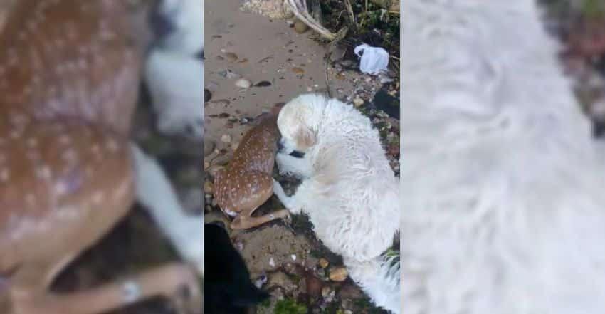 Golden Retriever salva filhote de cervo de afogamento em resgate emocionante [vídeo]
