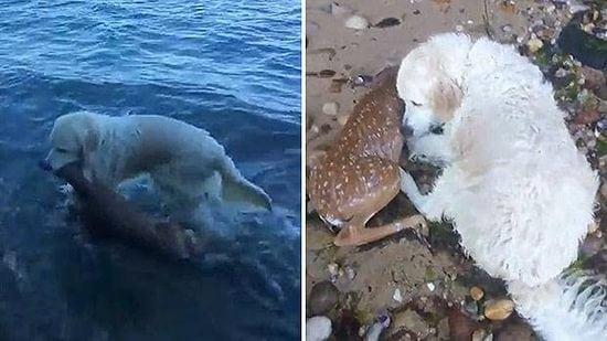 Cachorro resgata 'filhotíneo' de veado que estava se afogando no mar — VÍDEO