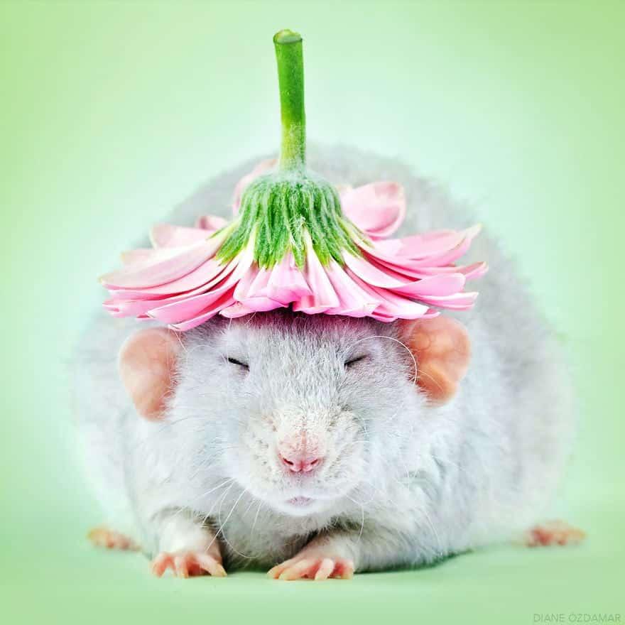 Essas fotos adoráveis vão tirar a imagem negativa que você tem dos ratos