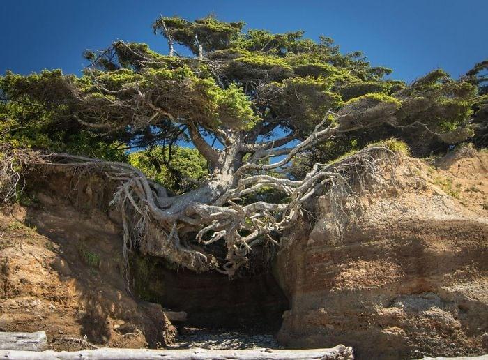 Árvores duronas que se recusam a morrer, não importa o que