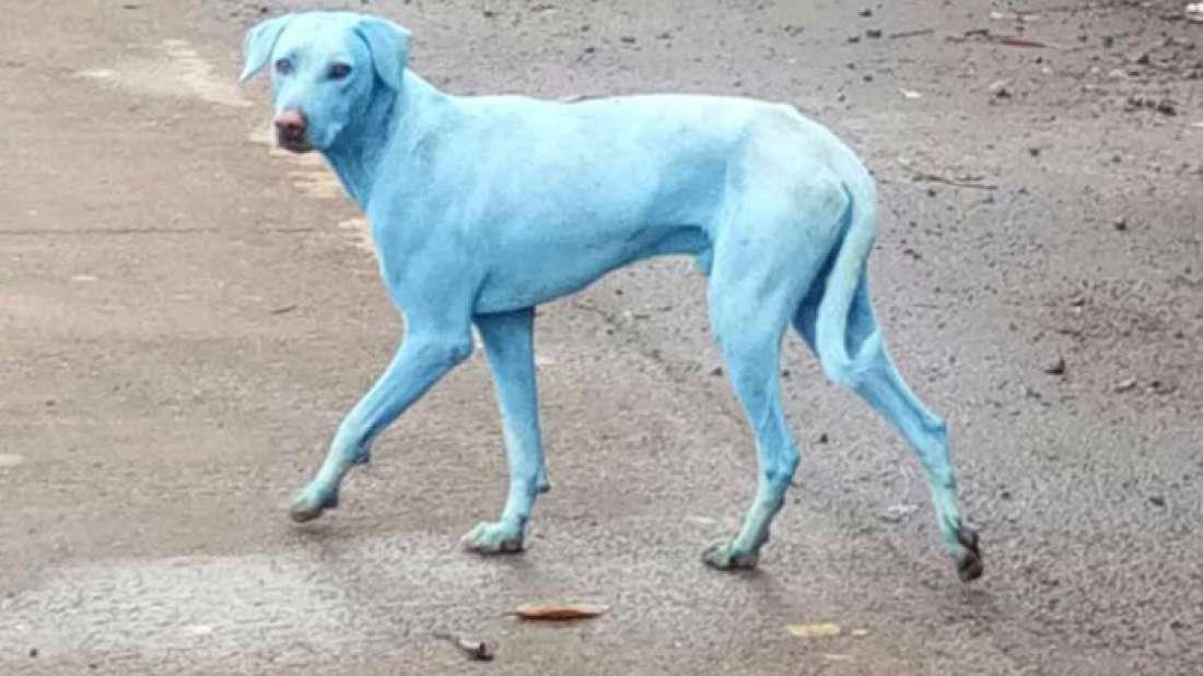 Cachorros com pelos azuis estão aparecendo na Índia e isso é um péssimo sinal