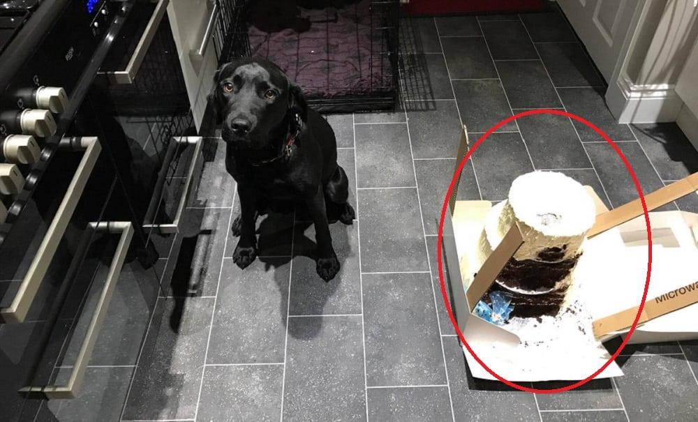 Labrador come bolo de casamento de R$ 500 horas antes da festa