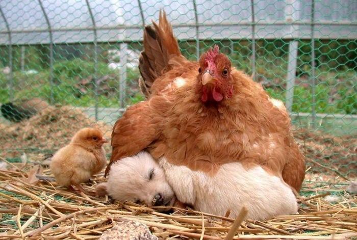 Essa é a prova de que as galinhas são as melhores mães do reino animal