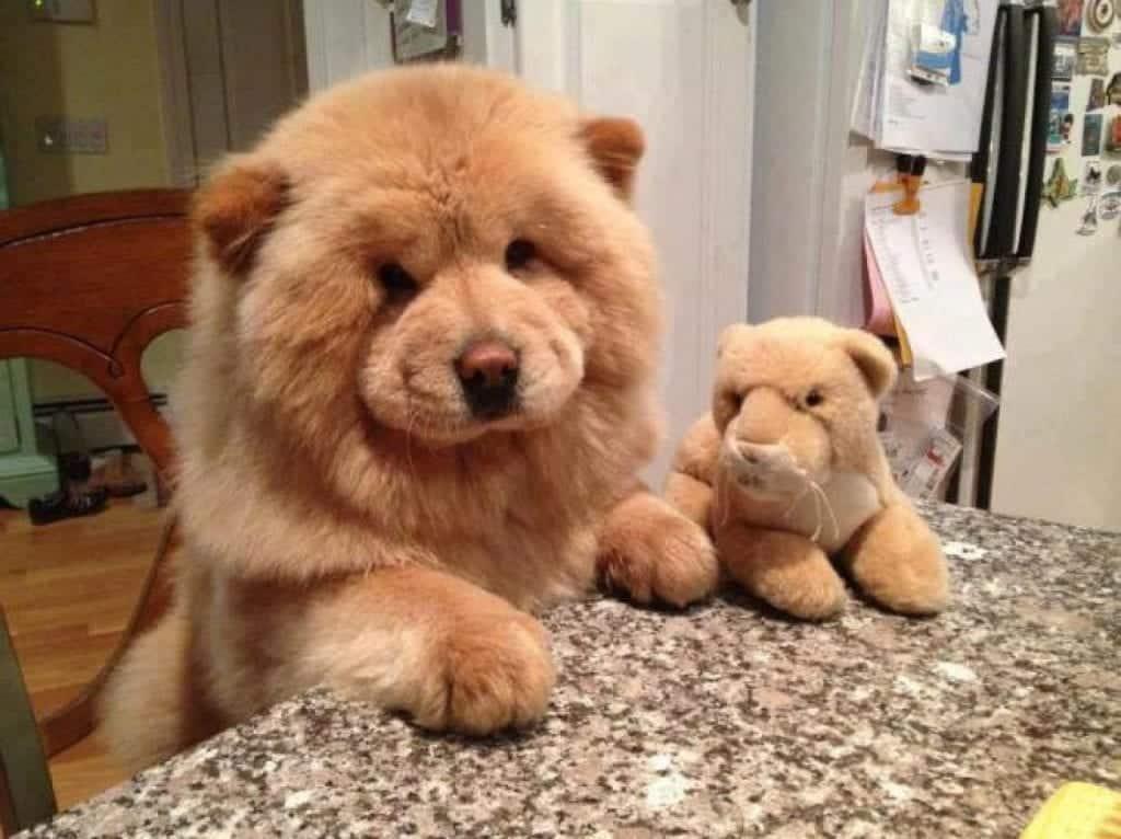 Fotos fofas de cachorros que parecem ursos de pelúcia