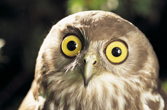 Corujas: 10 fatos divertidos e curiosos sobre esses animais incríveis