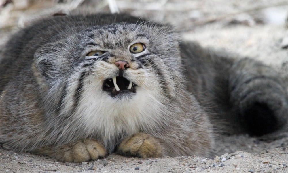 Felinos - 23 mais extraordinários e curiosos do mundo