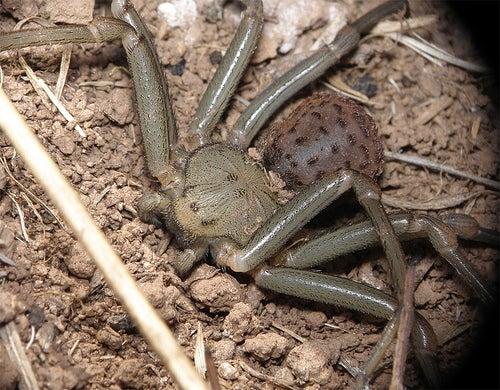 As 7 aranhas mais venenosas e perigosas do mundo