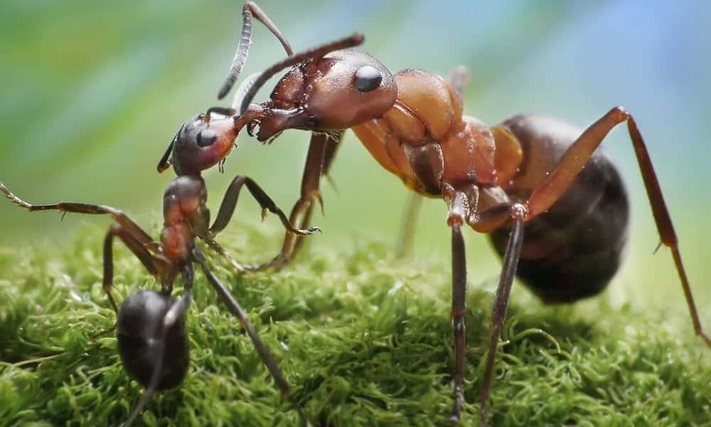 Como descobrir se uma formiga é macho ou fêmea? - Segredos do Mundo