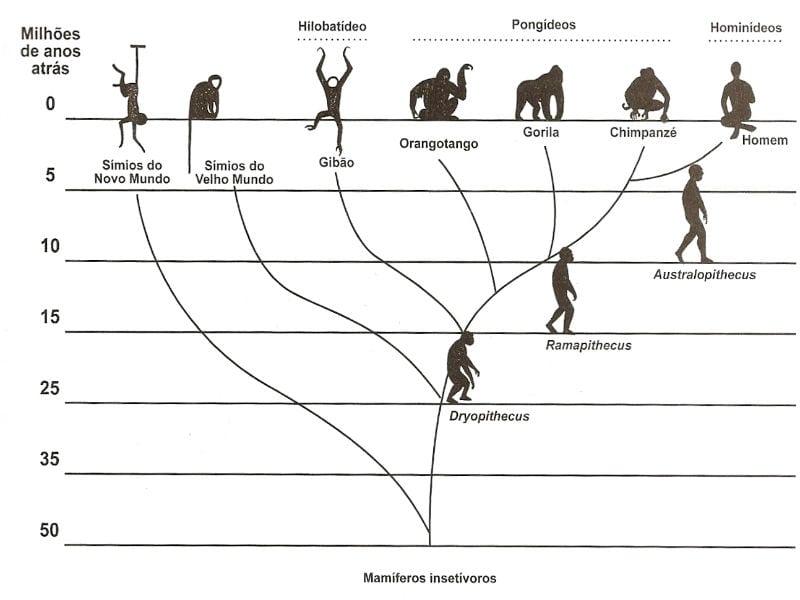 linha evolutiva