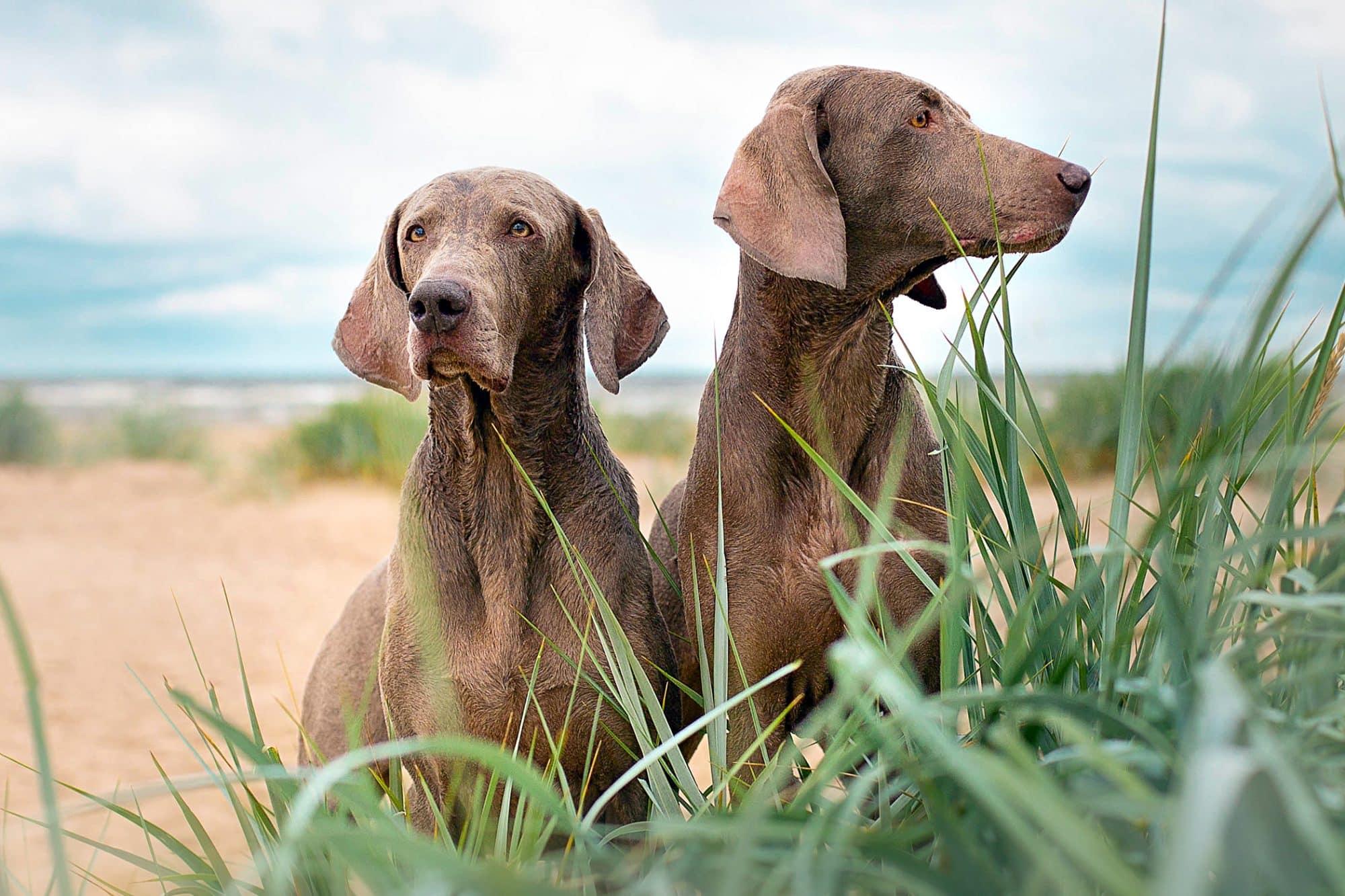 10 raças de cachorros mais inteligentes que você poderia adotar