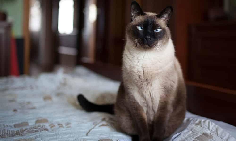 É por isso que você deveria ter um gato siamês em casa