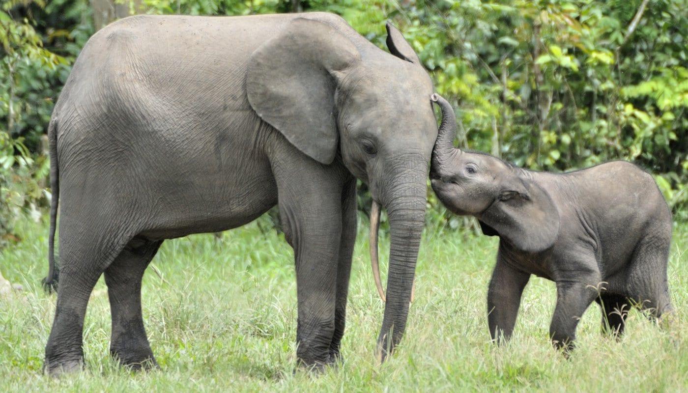 10 curiosidades sobre os elefantes que você provavelmente não sabia