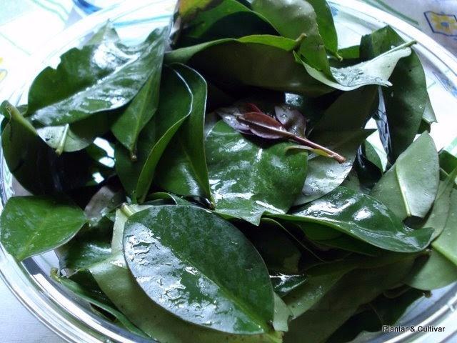 Ora-pro-nóbis, conheça a planta que contém 25% de proteína!