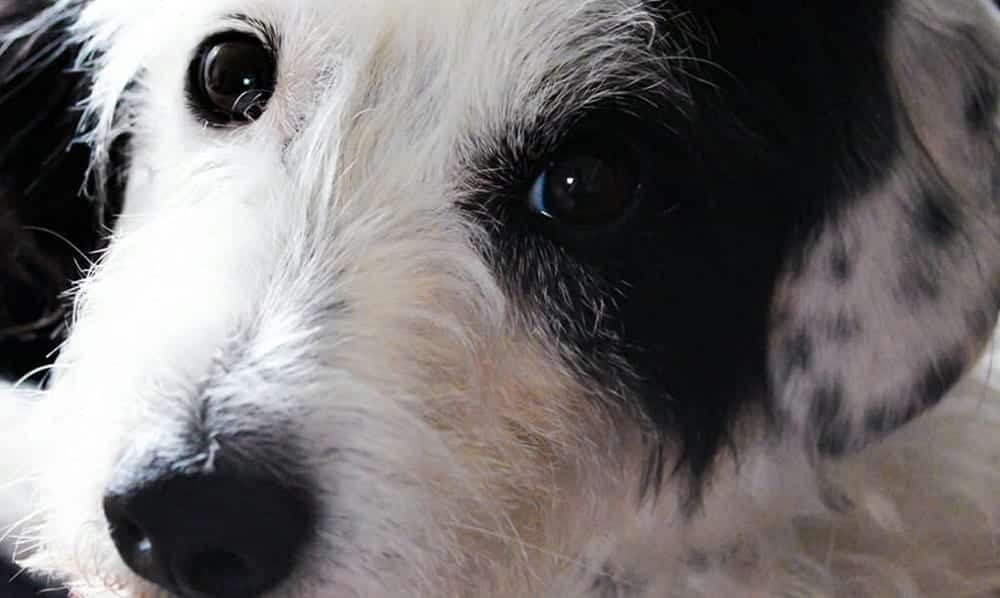 Seu cachorro entende o que você fala, garante estudo