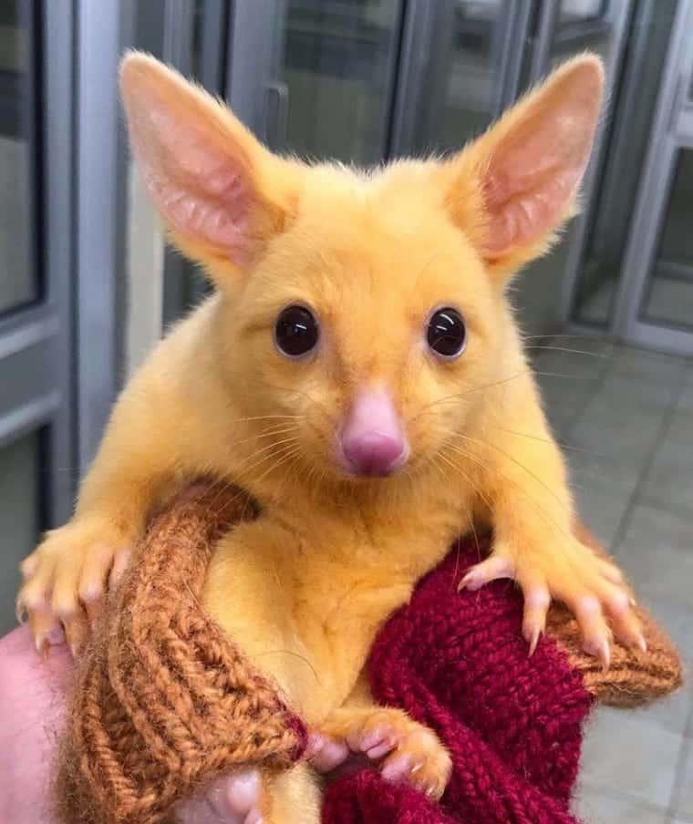 Animal idêntico ao Pikachu, de Pokémon, é encontrado na Austrália