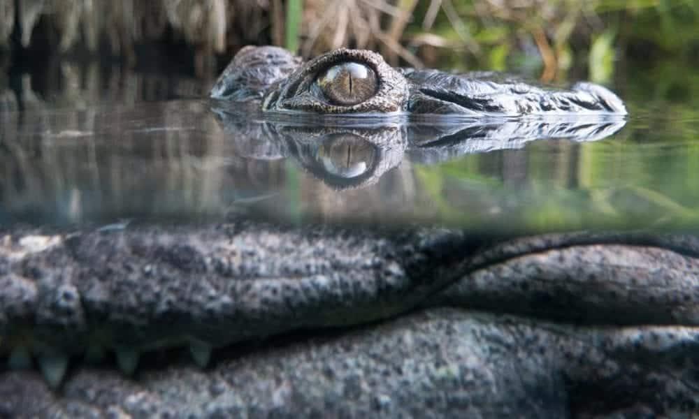 Cientista é devorada viva por um crocodilo na Indonésia!
