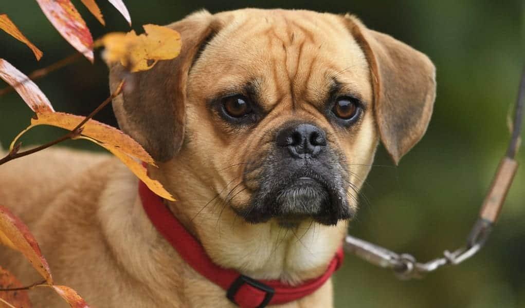 Conheça 10 raças de cães híbridos que são resultado de cruzamento