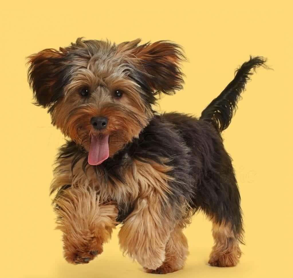 Conheça 10 raças de cães híbridos que são resultado de cruzamentos diferentes