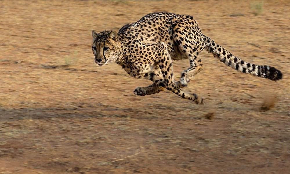 Animais mais rápidos do mundo no ar, na terra e na água