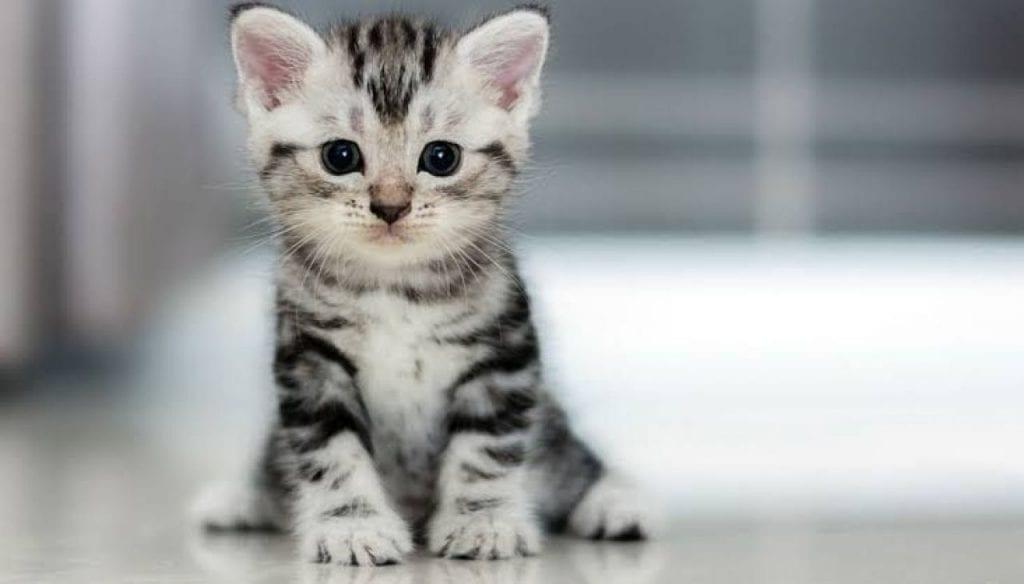 10 raças de gatos diferentes que existem no Brasil