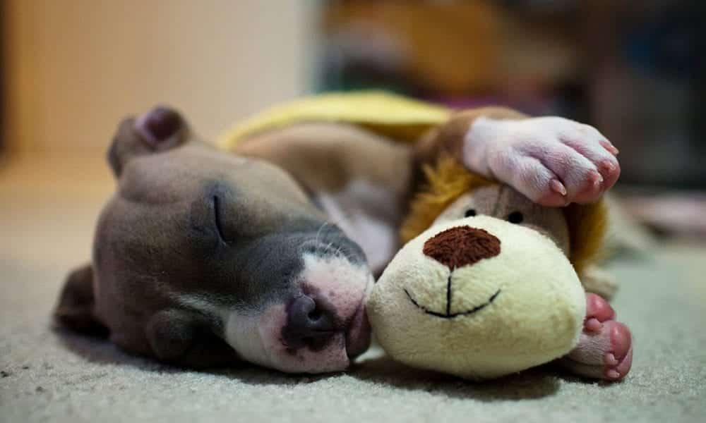 Cachorros podem sonhar! Descubra como funciona