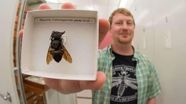 Maior abelha do mundo volta a ser encontrada depois de 40 anos