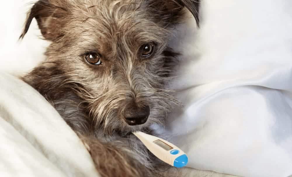 Como saber se seu cachorro está com febre?