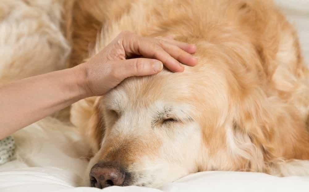 Como identificar um cachorro com febre? Descubra!
