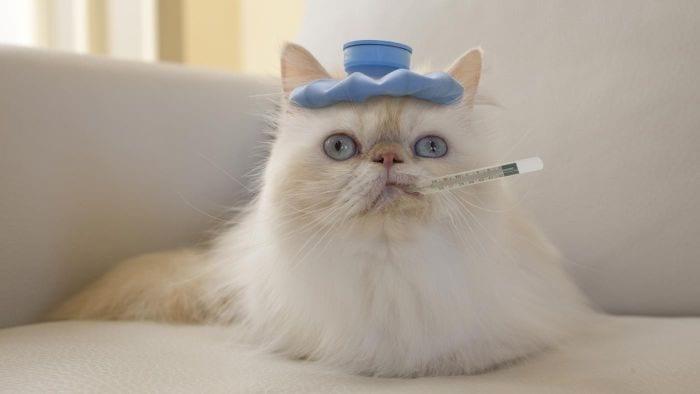 Como identificar um gato com febre e quais são as possíveis causas